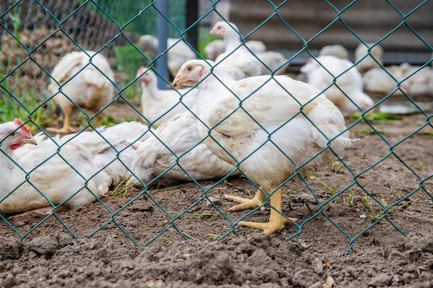Biohühner auf einem bauernhof.
