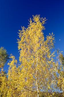 Birke (betula pubescens)