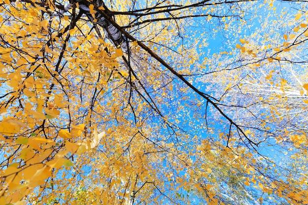 Birke im herbst, nahaufnahme von gelben blättern auf der spitze einer birke in der herbstsaison