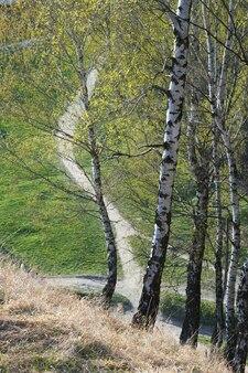 Birken auf dem frühlingsparkhügel