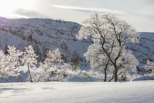 Birken, betula pubescens, in der beleuchteten schneebedeckten winterberglandschaft.