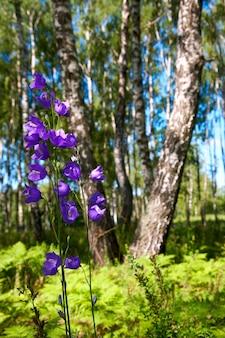 Birken im sommerwald mit glockenblume vor