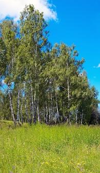Birken im sommerwald mit hohen gräsern unten. drei schüsse zusammengesetztes bild.