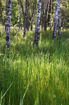 Birken im sommerwald mit hohen gräsern unten.