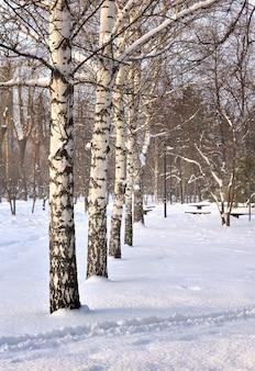 Birken im winterpark. weiße baumstämme zwischen blauen schneeverwehungen auf dem platz der herrlichkeit