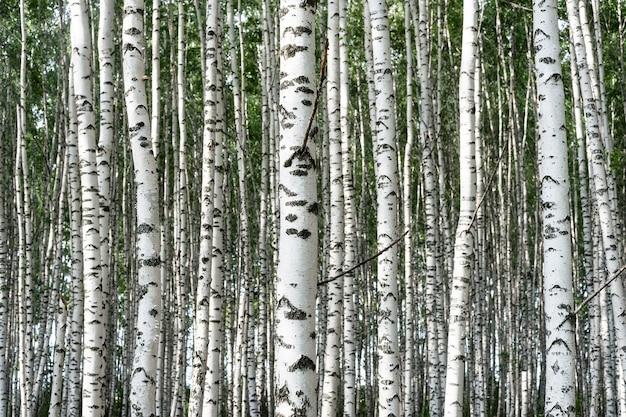 Birken in der waldlandschaft