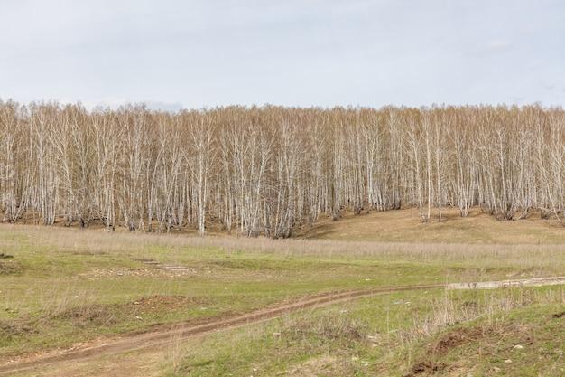 Birken mit frischen grünen blättern im frühjahr. russland