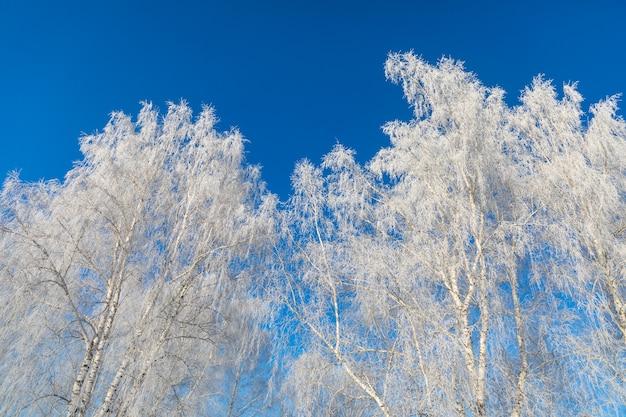 Birken sind mit raureif und schnee vor einem blauen himmel bedeckt. winterfrostige landschaft in sibirien, russland