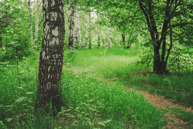 Birken wachsen auf schöner wiese inmitten reicher vegetation. birkenstamm nahaufnahme. szenische landschaft mit weg durch lichtung zwischen bäumen.