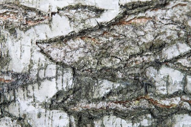 Birkenbaumrinde schließen herauf textur