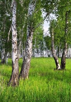 Birkenhain im sommer ein paar weiße baumstämme auf einer grünen wiese, die mit gras bewachsen ist