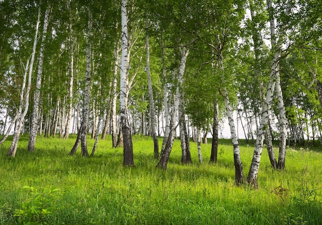Birkenhain im sommer weiße baumstämme auf einer mit gras bewachsenen grünen wiese