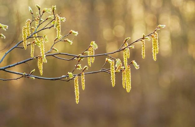 Birkenknospen während der blüte auf einem verschwommenen hintergrund in hellen goldtönen
