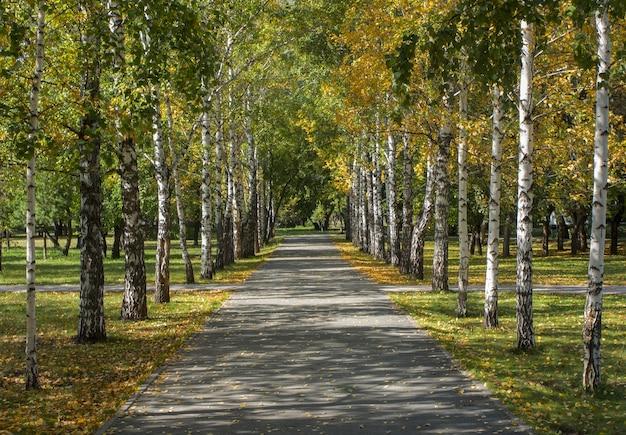 Birkenreihen im herbst park avenue aus weißen birkenstämmen mit gelben herbstblättern