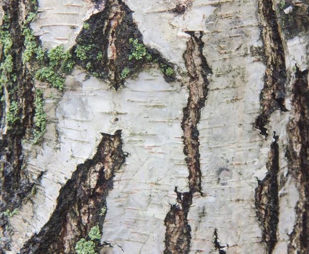 Birkenrinde mit schwarzen birkenstreifen auf weißer birkenrinde und mit hölzerner birkenrindenstruktur