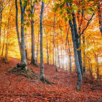 Birkenwald im sonnigen nachmittag während der herbstsaison