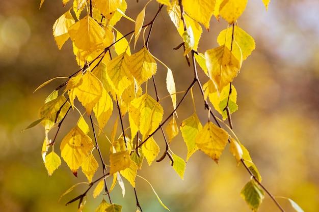 Birkenzweig mit gelben herbstblättern auf unscharfem hintergrund, herbsthintergrund