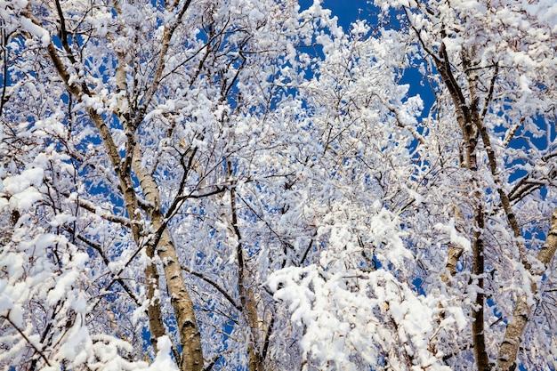 Birkenzweige mit weißem schnee bedeckt