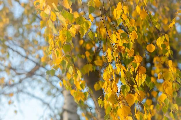 Birkenzweige und -blätter im herbst im oktober, sonniger und trockener herbst, goldene herbstblätter, selektiver fokus