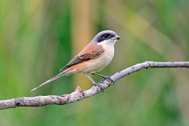 Birmane shrike lanius collurioides schöne vögel von thailand