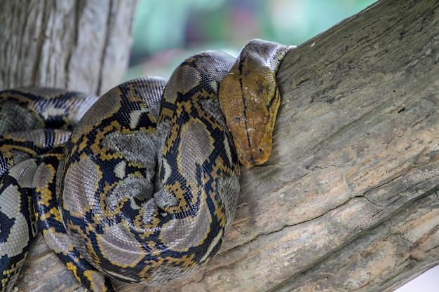 Birmanische pythonschlange auf stockbaum