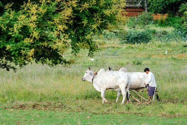 Birmanischer landwirt arbeitet mit stieren auf seinem reisfeld mit schönen alten tempeln und pagode in der archäologischen zone, markstein für touristenattraktionen.