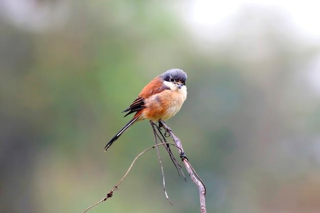 Birmanischer würger (lanius collurioides), vogel von thailand