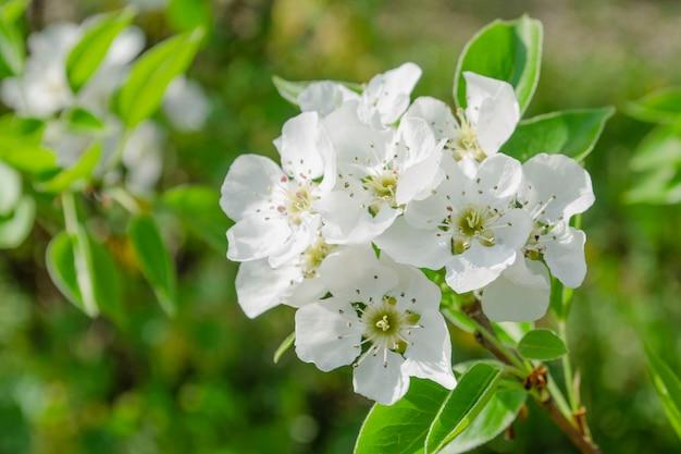 Birnbaumblüten-nahaufnahme. weiße birnenblume auf natürlichem hintergrund.