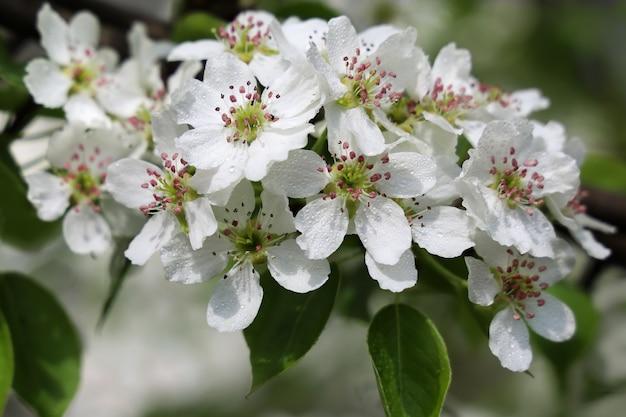 Birnbaumzweig mit weißen blüten
