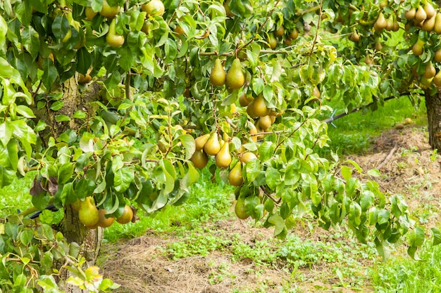 Birnenbäume beladen mit frucht in einem obstgarten in der sonne