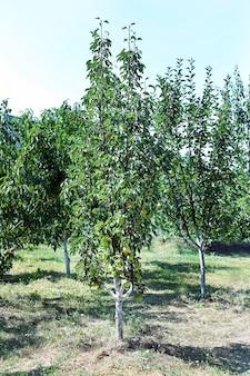 Birnenbaum voller reifer birnen im garten