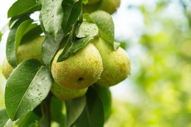 Birnenfrucht auf dem baum im obstgarten