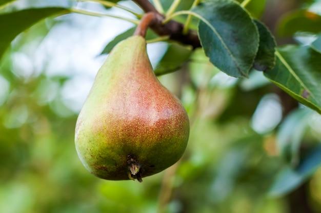 Birnenfrucht auf dem baum in der fruchtgartennahaufnahme