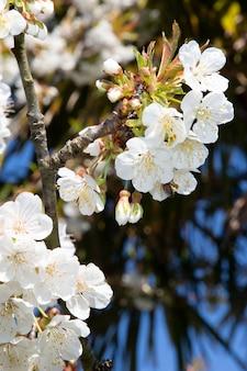 Birnenkirschblüten im baum