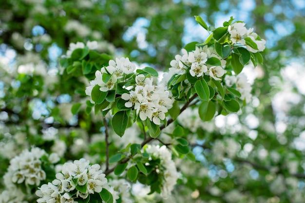 Birnenobstbaumblüte im frühjahr. blumentextur