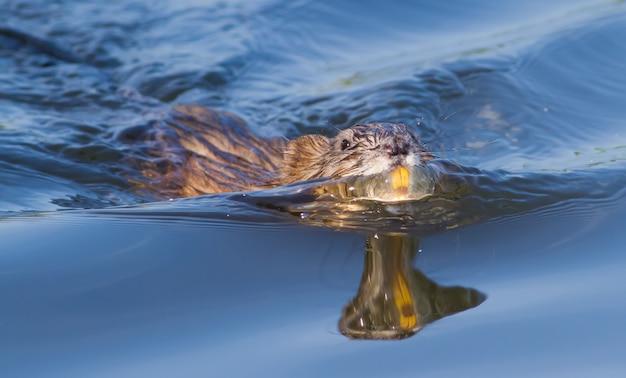 Bisamratte schwimmen auf dem fluss