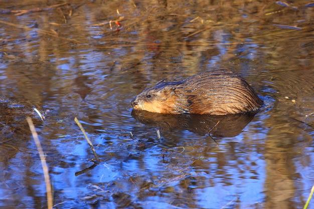 Bisamrattenschwimmen im wasser des sumpfes im frühjahr
