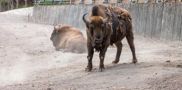 Bison mit schälendem haar auf dem hintergrund der erde