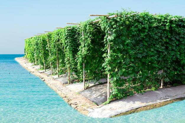 Bitterer kürbisgarten des landwirtschaftlichen gemüsebauernhofes für die gesundheit des gärtners