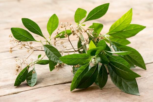 Bitterleaf-baum oder gymnanthemum-extensum auf naturhintergrund.