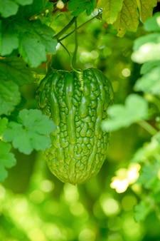 Bittermelone, bitterer kürbis oder hängende pflanzen des bitteren kürbisses in einem bauernhof