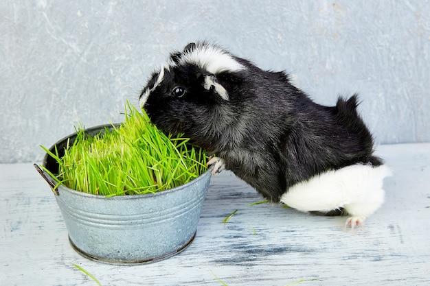 Blacck meerschweinchen nahe vase mit frischem gras. studiofoto.