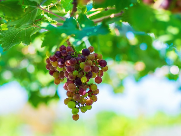 Black opor trauben es ist eine kernlose traube mit einem besonderen geschmack, der beliebt ist.