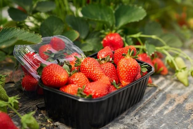 Blackbox mit reifen frischen erdbeeren im gewächshaus