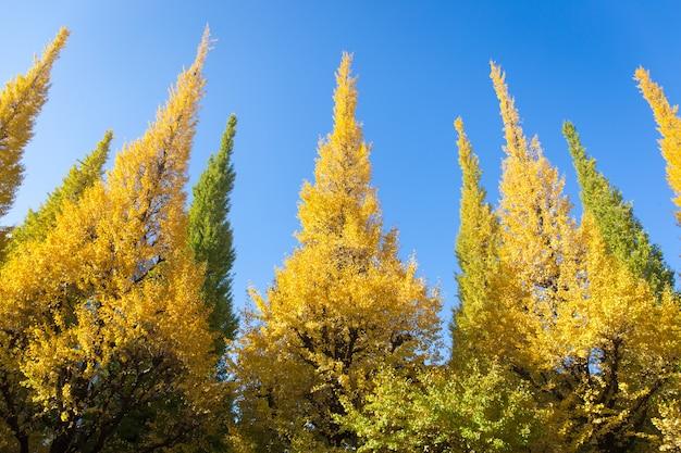 Blätter auf baum ist farbänderung von grün zu gelb mit hintergrund des blauen himmels im herbst
