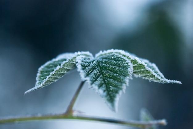 Blätter auf einer niederlassung bedeckt mit reif, eisiger morgen