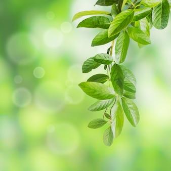 Blätter der kletterpflanzenpflanze