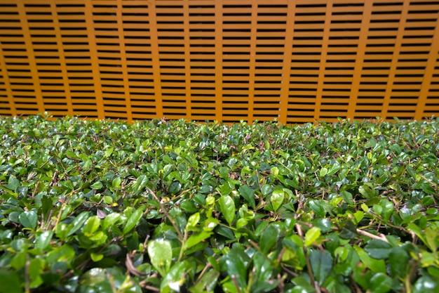 Blätter der tropischen pflanzen