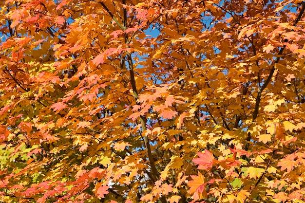 Blätter des ahornbaums