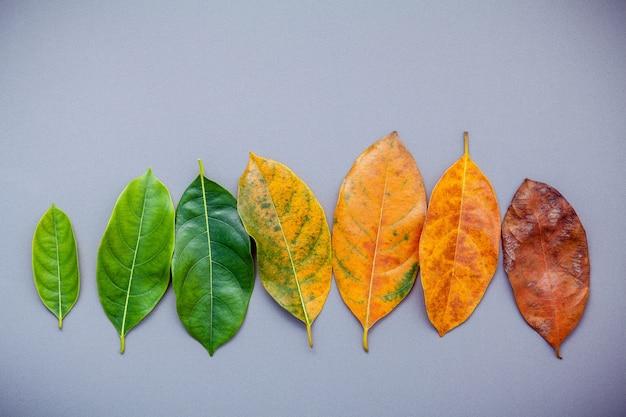 Blätter des unterschiedlichen alters des steckfassungsobstbaums auf grauem hintergrund.